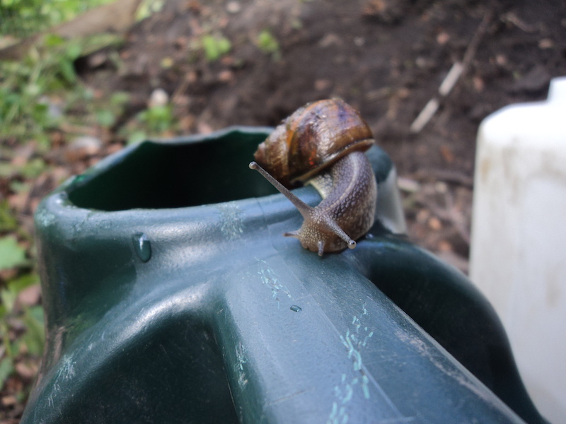 Snails living in the watering can!
