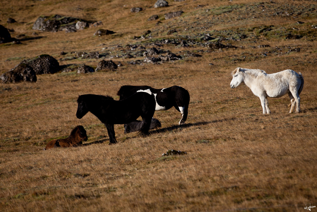 icelandinc horses